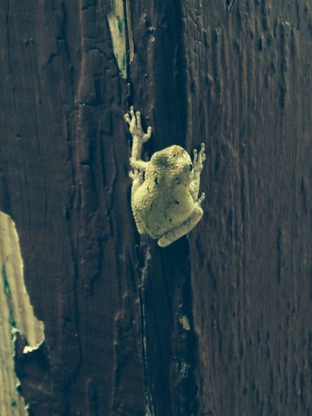 Awesome blanco tree frog on my front porch
