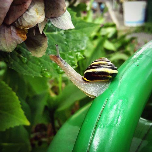 Schrebergarten Garden Photography Allotment Hydrangea Snail🐌 Snail Collection Animalfeeding Schnecke Leaf Insect Close-up Green Color