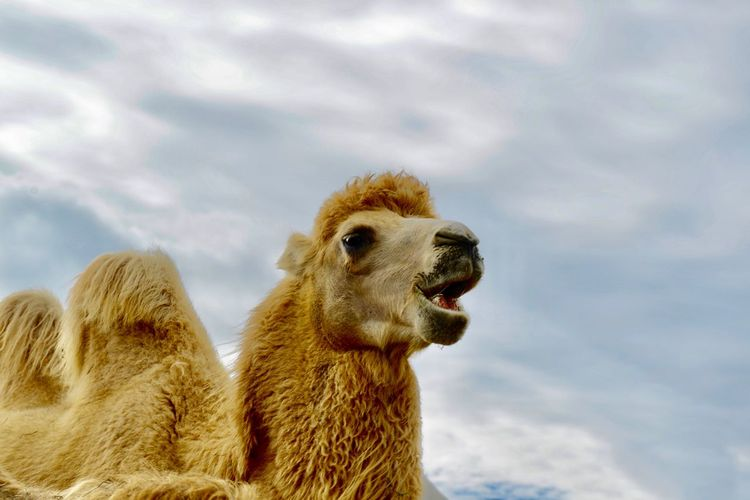 Herbivorous Domestic Animals Camel Animal Animal Themes One Animal Sky Cloud - Sky Animal Wildlife Animals In The Wild Mammal Nature No People Vertebrate Animal Body Part Day Animal Head  Outdoors Close-up Low Angle View Mouth Mouth Open