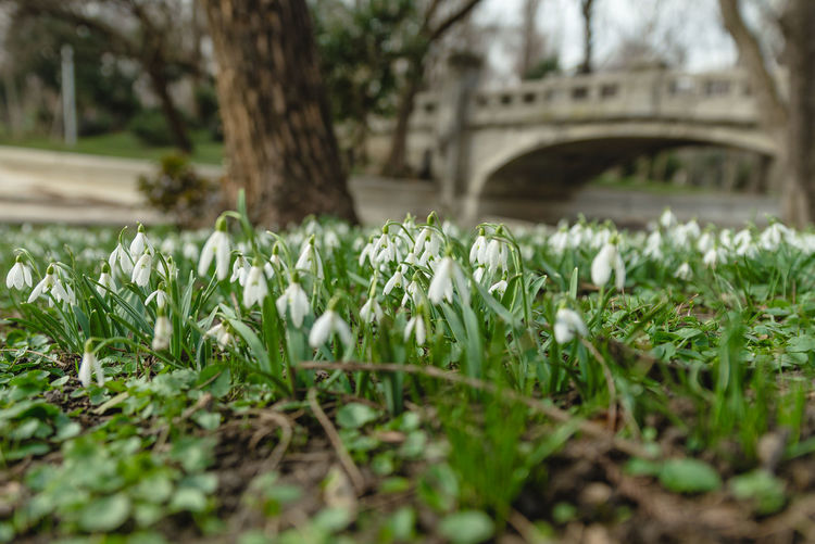 Snowdrops Snowdrop Plant Freshness Flower Growth Selective Focus Flowering Plant Beauty In Nature Nature Vulnerability  Day Fragility No People Close-up Green Color Outdoors Land Field Petal Grass Architecture Springtime Surface Level Flowerbed