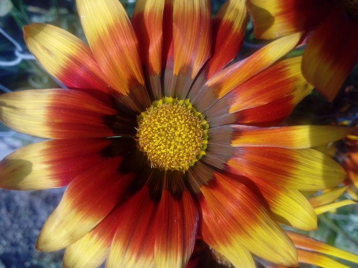 Red Beauty In Nature Blooming Close-up Flower Head Gerbera Daisy Nature Outdoors Petal Yellow