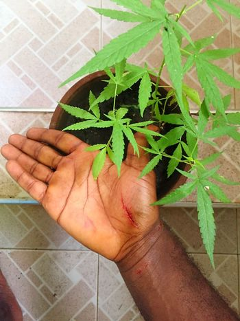 Hand fresh sour Wounds Human Hand Leaf Human Body Part Human Finger One Person Real People Personal Perspective Plant Unrecognizable Person Green Color Marijuana - Herbal Cannabis High Angle View Holding Cannabis Plant Growth Indoors  Potted Plant Men Lifestyles Herbal Medicine