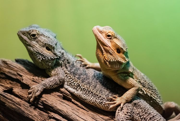 Close-up of lizards sitting on branch
