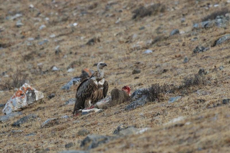 Vulture on field