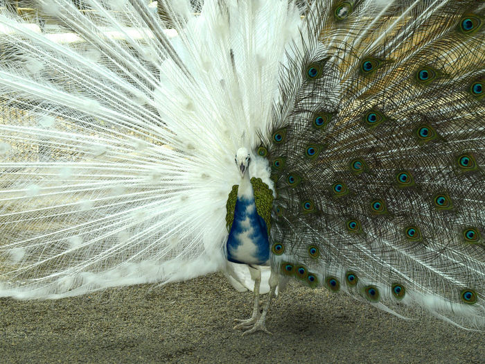 Fanned Out Albino Peacock On Field