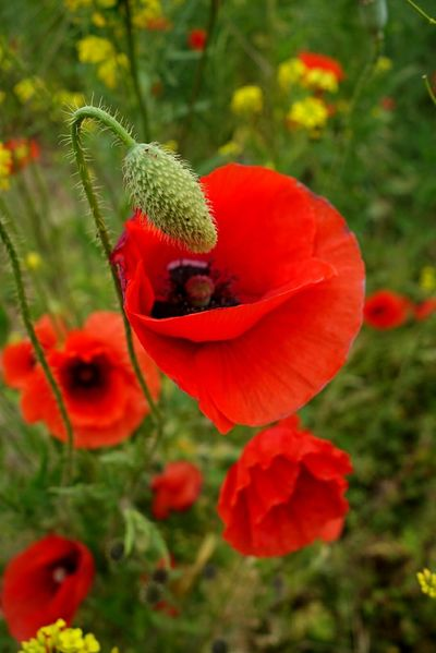 Color Flowers Nature Photography Mohnblumen Klatschmohn 🍀 Red