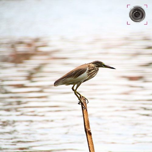 ~~~~~~~~~~~~~~~~~~~~~~~~~~~~~~~ 🇮🇳🇩🇮🇦🇳🔸🇵🇴🇳🇩🔸🇭🇪🇷🇴🇳 ~~~~~~~~~~~~~~~~~~~~~~~~~~~~~~~ 🐤 🐦 WAITING FOR A CATCH AT BACKWATERS OF ALAPPUZHA , KERALA 🐦 🐤 ~~~~~~~~~~~~~~~~~~~~~~~~~~~~~~~ The Indian pond heron or paddybird (Ardeola grayii) is a small heron. It is of Old World origins, breeding in southern Iran and east to Pakistan, India, Burma, Bangladesh and Sri Lanka. They are widespread and common but can be easily missed when they stalk prey at the edge of small water-bodies or even when they roost close to human habitations. They are however distinctive when they take off with bright white wings flashing in contrast to the cryptic streaked olive and brown colours of the body. Their camouflage is so excellent that they can be approached closely before they take to flight, a behaviour which has resulted in folk names and beliefs that the birds are short-sighted or blind. ~~~~~~~~~~~~~~~~~~~~~~~~~~~~~~~ All images are subject to ©copyright No repost, regram or reproduce without prior permission All rights reserved Indianpondheron Paddybird Birds Nature Birdphotography Birdlover Kerala GodsOwnCountry Alappuzha Alleppey Convexrevolution Indianphotographer Instabirds Photographers_of_india Vasco Backwaters Green Greenery Birdsofinstagram Birdphotography Naturewatch Birdwatching