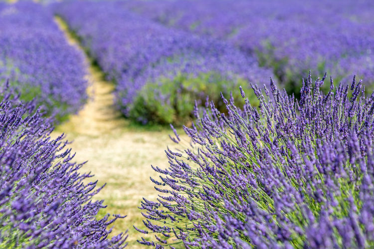 A pathway through a field of lavender, with focus on the foreground Agriculture Beauty In Nature Botany Day Field Flower Flower Head Flowerbed Flowering Plant Fragility Freshness Growth Herb Land Lavender Lavender Colored Nature No People Outdoors Plant Purple Springtime Tranquil Scene Tranquility Vulnerability