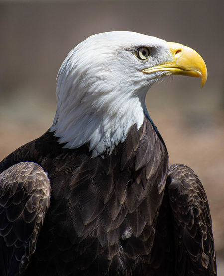 Bird Bird Of Prey Animal Wildlife Animals In The Wild Animal Themes Animal Vertebrate One Animal Eagle Eagle - Bird Focus On Foreground Close-up Beak Looking Looking Away Day No People Bald Eagle Feather  Outdoors Animal Head  Falcon - Bird Animal Eye American Bald Eagle Determination Objective Airplane Aim