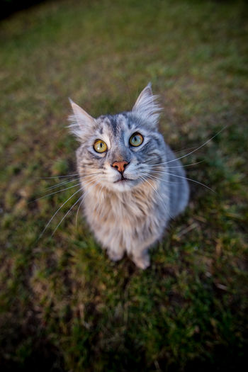 High angle portrait of a cat on field