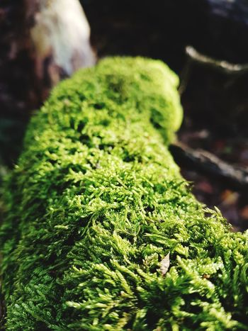 Green Color Nature Close-up Growth Plant No People Beauty In Nature Day Outdoors Freshness Thick Nature Beauty In Nature Waldspaziergang Wald Forest Photography Forestwalk Forest Germany🇩🇪 Samsung Galaxy S7 Baumstämme