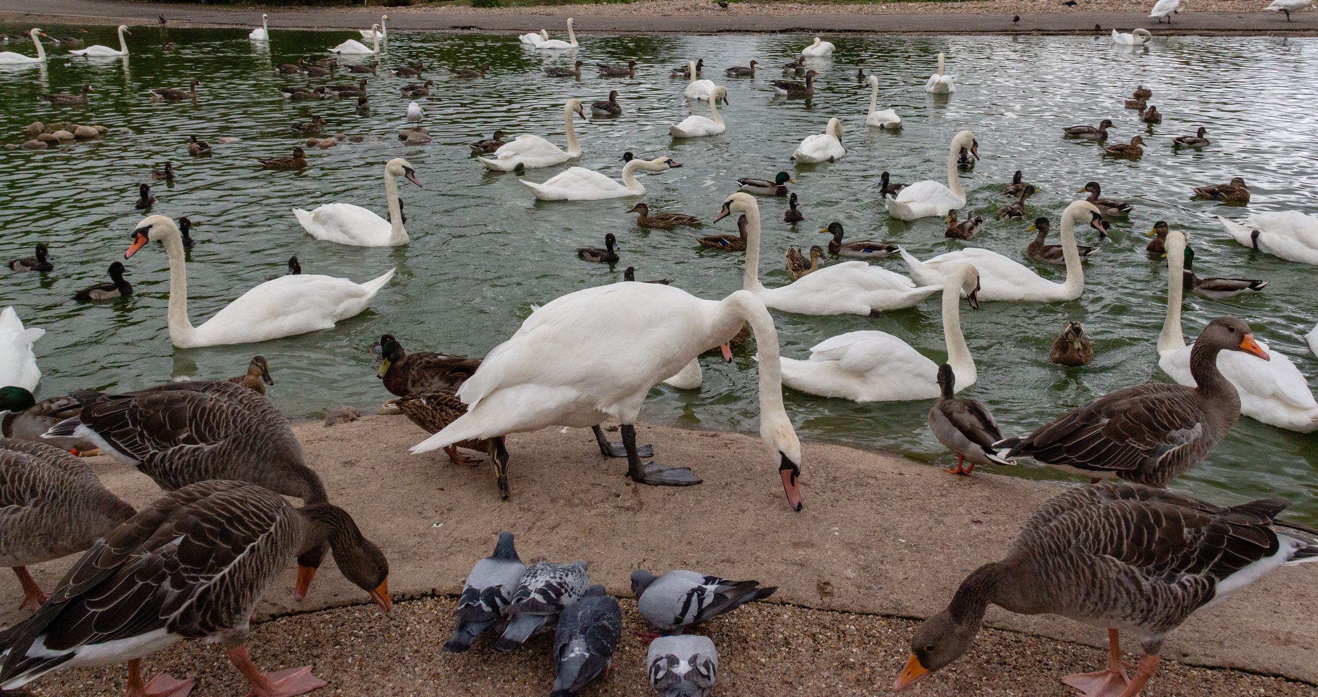 group of animals, animal themes, animal, bird, vertebrate, animal wildlife, large group of animals, animals in the wild, water, lake, nature, no people, day, flock of birds, white color, outdoors, high angle view, beauty in nature, zoology
