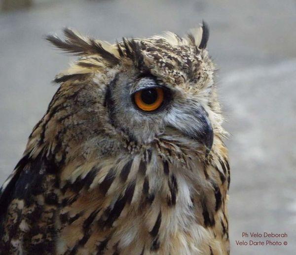 Uno sguardo fiero. Animal Nature Animal Wildlife Gufo First Eyeem Photo