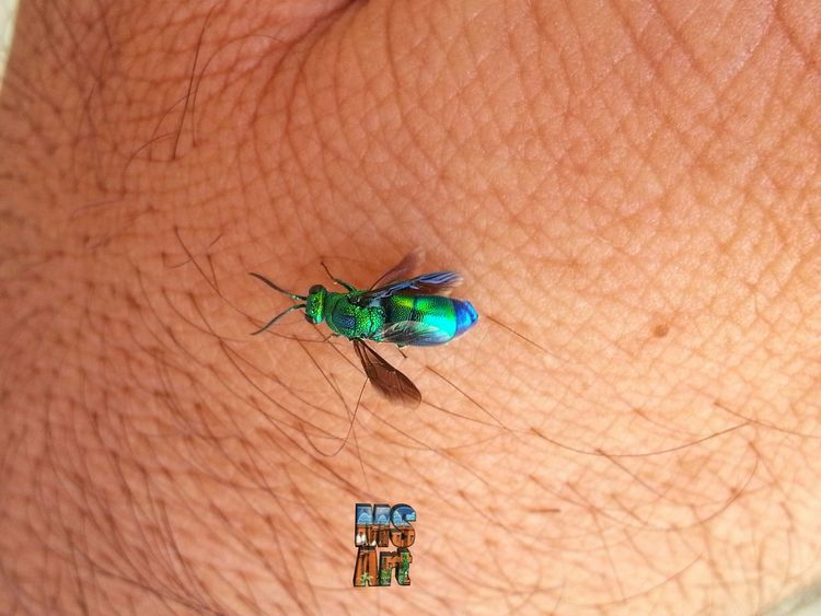Beautifully Coloured fly on my hand. Insects Beautiful Nature Insects Macro MobilePhotograpy Insectslover Insects At My Garden Insects_perfection Beautiful Colour Combination Insect