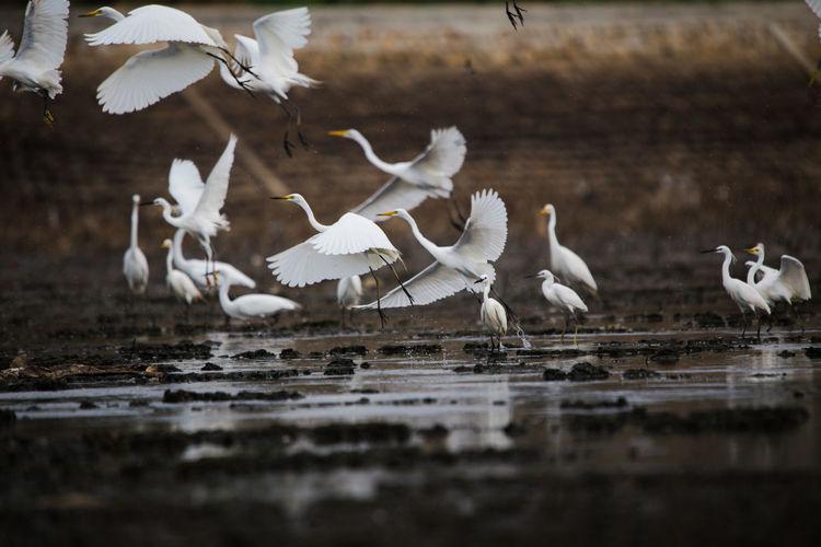 White birds flying over lake