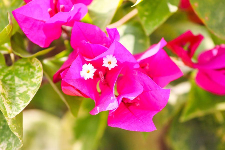 BOUGAINVILLEA... PURPLE Day Nature Branches Beauty In Nature Blossom Purple Bougainvillea