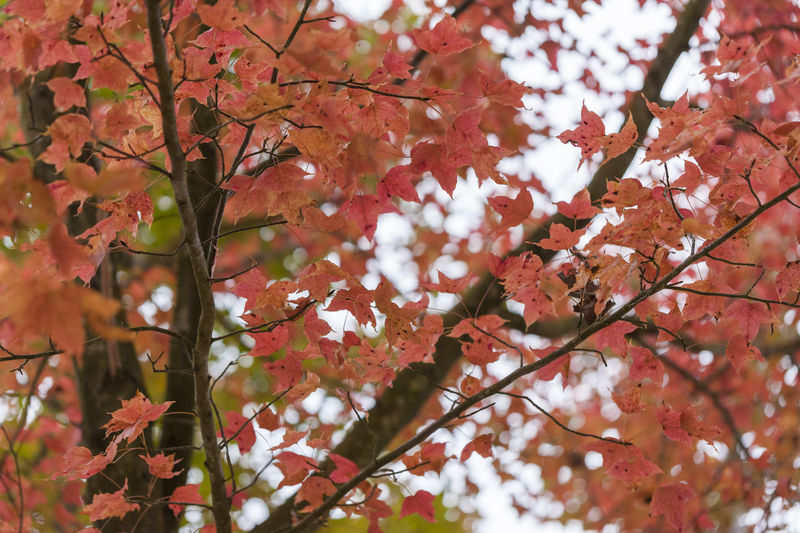 Low angle view of tree with autumn leaves