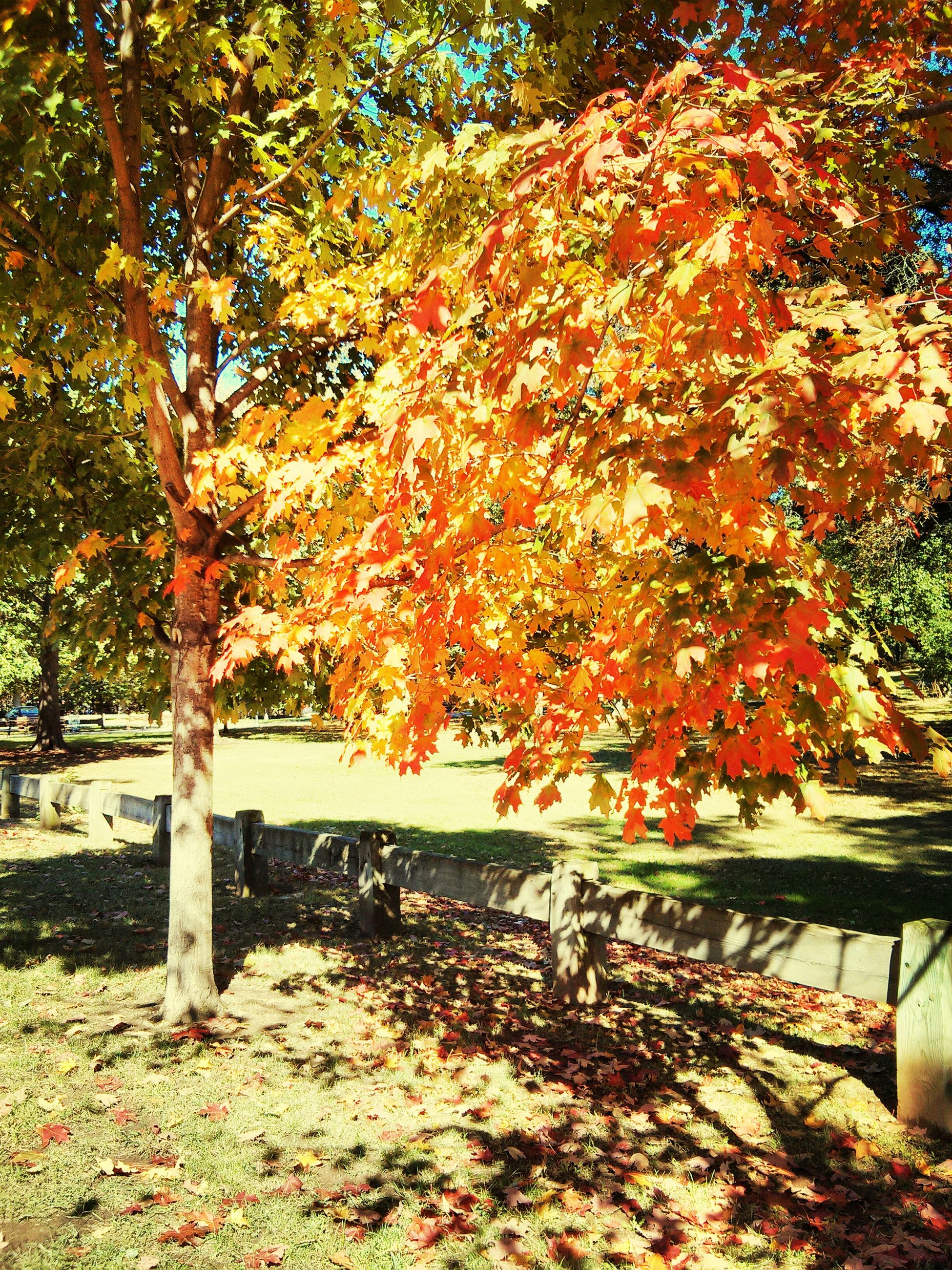 autumn, tree, change, season, leaf, orange color, growth, tranquility, branch, nature, beauty in nature, park - man made space, tree trunk, fallen, tranquil scene, park, scenics, day, bench, sunlight