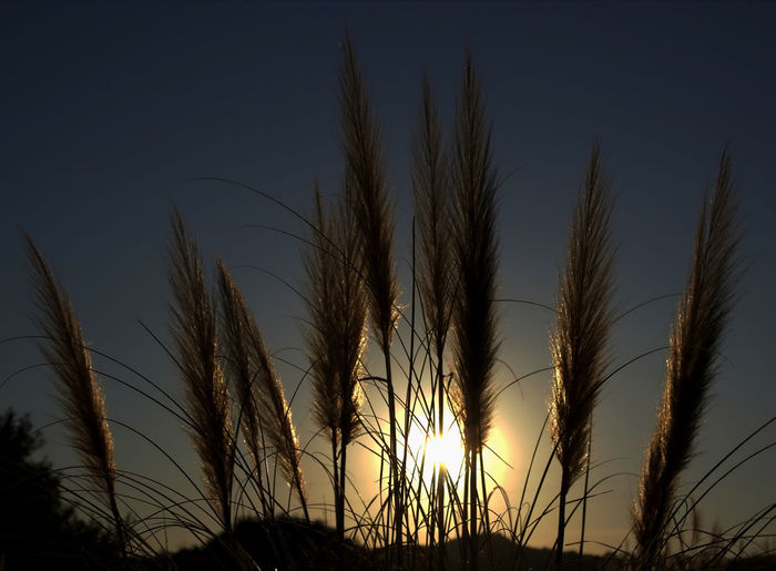 Canon EOS 600D DSLR Canon EOS 600D Pampas Pampas Grass Pampasgrass Pampasgras🌱 Pampas Grass Silhouette Pampas Grass Closeup Pampas Grass At Sunset Pampas Grass Close Up Pampas Grass In The Breeze Pampas Grass Growing Wild