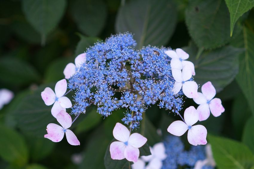 Flower Beauty In Nature Freshness Nature Purple Plant Blue Close-up Flower Head No People Outdoors Day Hydrangea Bud