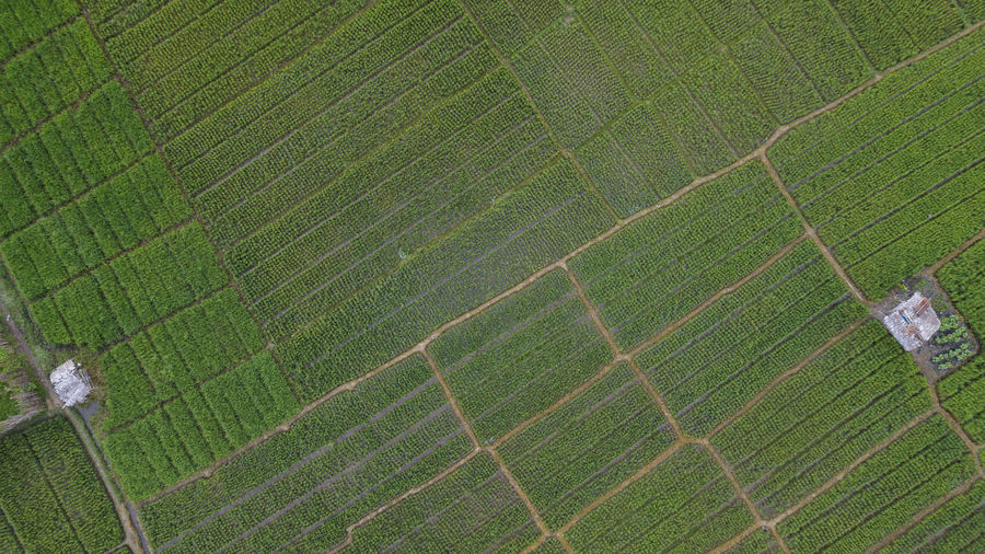 Full frame shot of crop growing on field