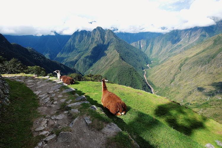 Inca Trail views Lost in the Landscape Hiking Inca Trail Llama Peru Scenics Journey No People Animals In The Wild Mountain Terraced Field Sky Mountain Range Landscape