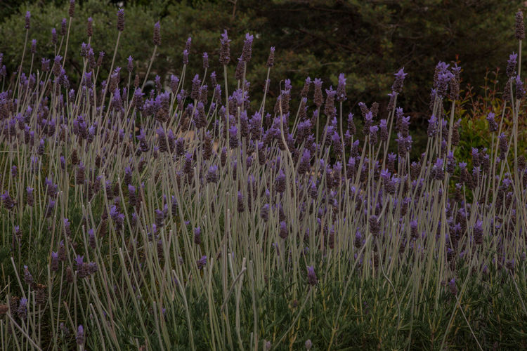 Lavender Field Park Guell Flower Purple Flowering Plant Growth Plant Beauty In Nature Freshness Lavender Colored Nature Vulnerability  Fragility Flowerbed Springtime Botany
