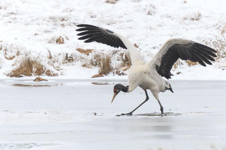 Black-necked crane foraging on frozen lakeshore