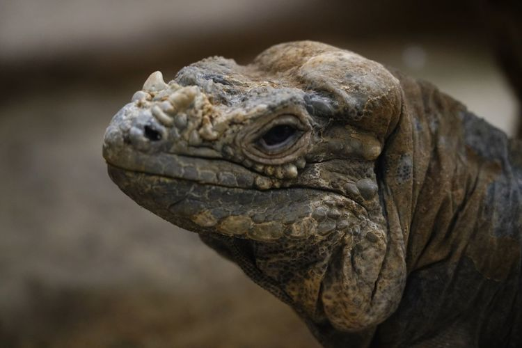 EyeEm Selects Animal Themes Animal One Animal Animal Wildlife Animals In The Wild Reptile Animal Body Part Nature Iguana Animal Head  Lizard Side View Focus On Foreground Close-up Vertebrate Portrait Mammal Outdoors Day No People