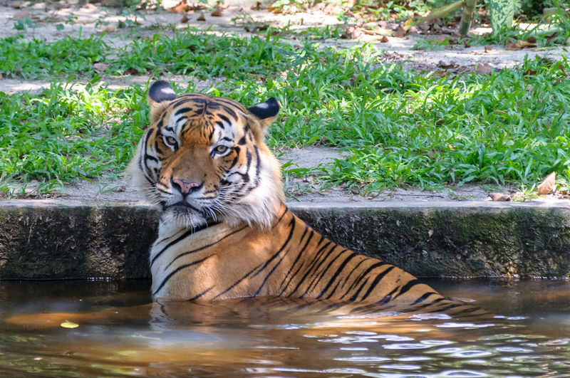 Portrait of tiger by swimming pool in lake