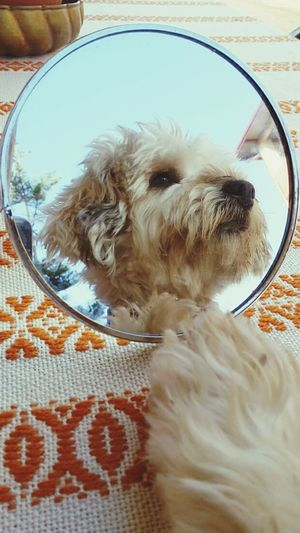 Domestic Animals Dog Animal Themes One Animal Pets Close-up Front View Mammal Animal Head  Day Pampered Pets Zoology Animal Hair No People EyeEm Gallery EyeEm Best Shots Eyeem Today's Photo Dog In A Mirror Mirror Mirrorselfie First September EyeEmBestPics Best Seller First Eyeem Photo Animals_collection