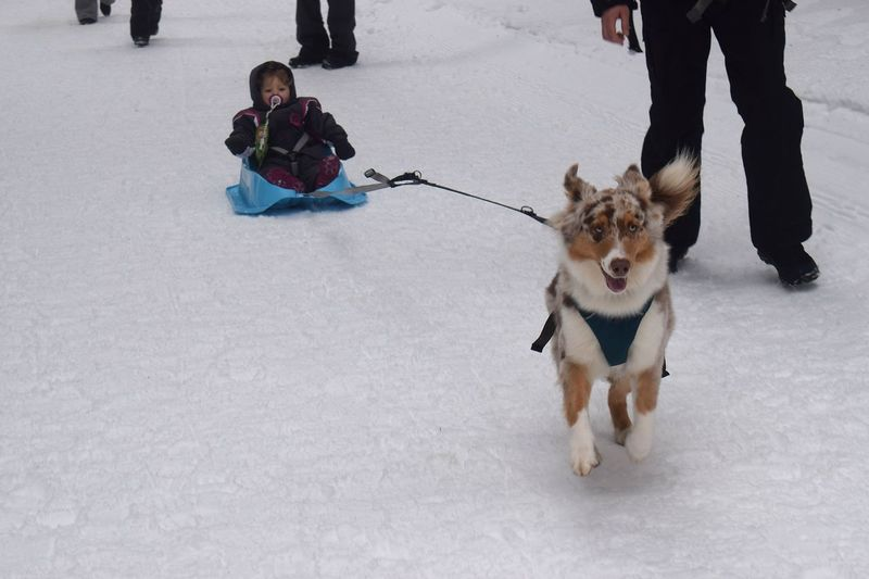 Dog pulling baby girl on snow
