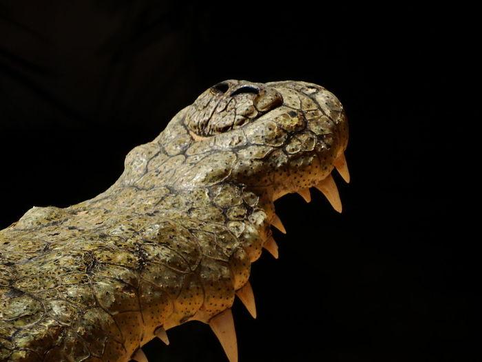Close-Up Of Crocodile Mouth