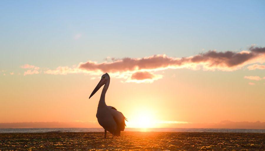 Pelican at