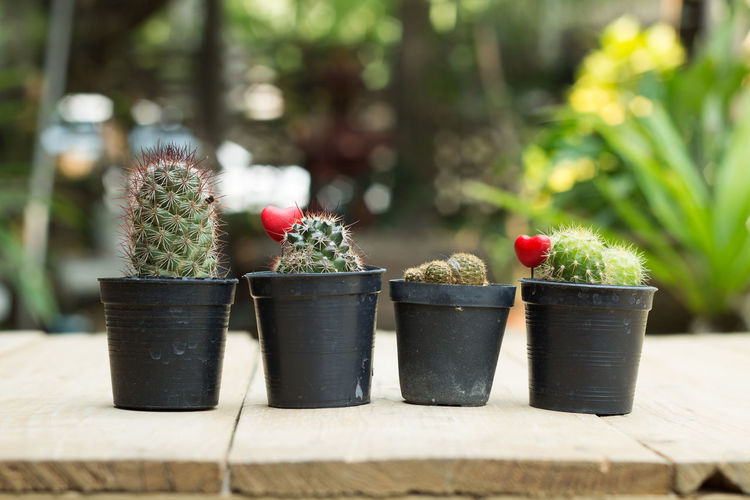 Close-Up Of Potted Cacti On Table
