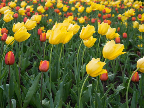 Yellow tulip flowers in a garden Tulips Blooming Flower Flower Head Flowerbed Freshness Growth Nature Outdoors Yellow Yellow Flowers Yellow Tulips