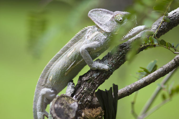 chameleon on a branch Animal Themes Animal Wildlife Animal One Animal Animals In The Wild Reptile Vertebrate Plant Focus On Foreground Lizard Close-up Nature Tree No People Day Green Color Branch Selective Focus Outdoors Animal Body Part Animal Head  Iguana Animal Scale Animal Eye