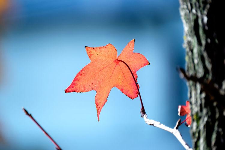 あきいろ Nature Leaf Light And Shadow Taking Photos Red Japan アメリカ楓 Kitakyushu Beauty In Nature Fukuoka EyeEm Best Shots EyeEm Gallery Autumn Collection FUJIFILM X-T1 Fujifilm_xseries