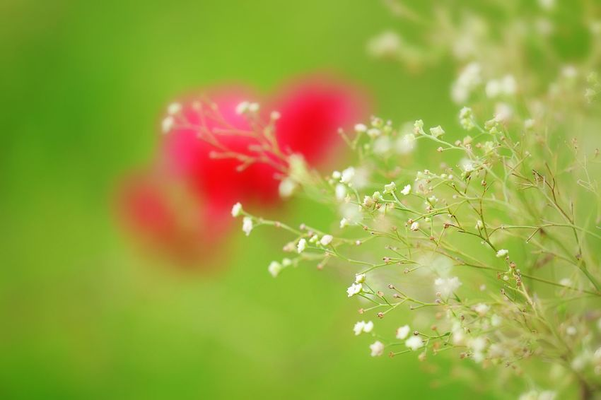 Fragility Plant Vulnerability  Beauty In Nature Growth Flower Flowering Plant Selective Focus Freshness Close-up No People Nature Red Day Focus On Foreground Outdoors Tranquility Inflorescence Flower Head Green Color