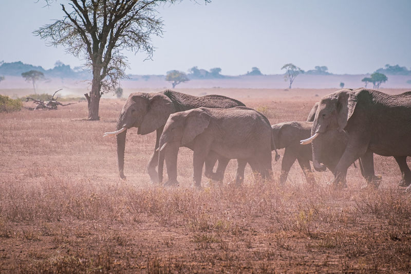 A herd of elephants in the serengeti