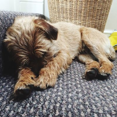 Border Terrier Puppy Love Puppy Sleeping My Dog Is Cooler Than Your Kid. Hello World Relaxing Zzz