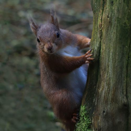 red squirrel on