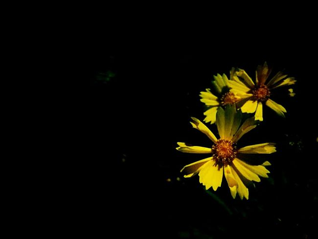 Flower Yellow Fragility Petal Flower Head Nature Plant No People Beauty In Nature Growth Freshness Black Background Outdoor Pursuit Close-up Black-eyed Susan India Binsar Forest Binsar IPhone Photography Iphone6 Eyeemphotography