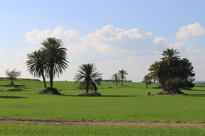 Cyprus Larnaca, Cyprus Larnaca Naturelovers Nature Photography Nature_collection Tree Field Beauty In Nature Nature Growth Palm Tree Tranquility Cloud - Sky Green Color Sky Tranquil Scene Landscape Scenics No People Outdoors Day Grass Agriculture