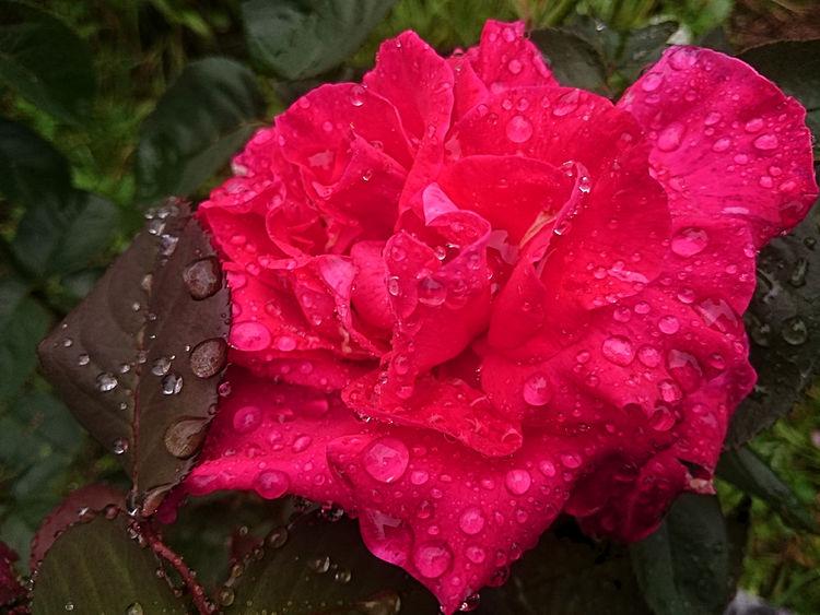 Full wet … red rose. Red Rose 🌹 Red Flower Wet Rose