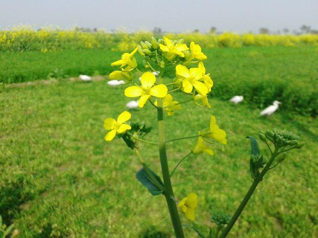 By Surjit Sam Mustard Fields Punjabi India