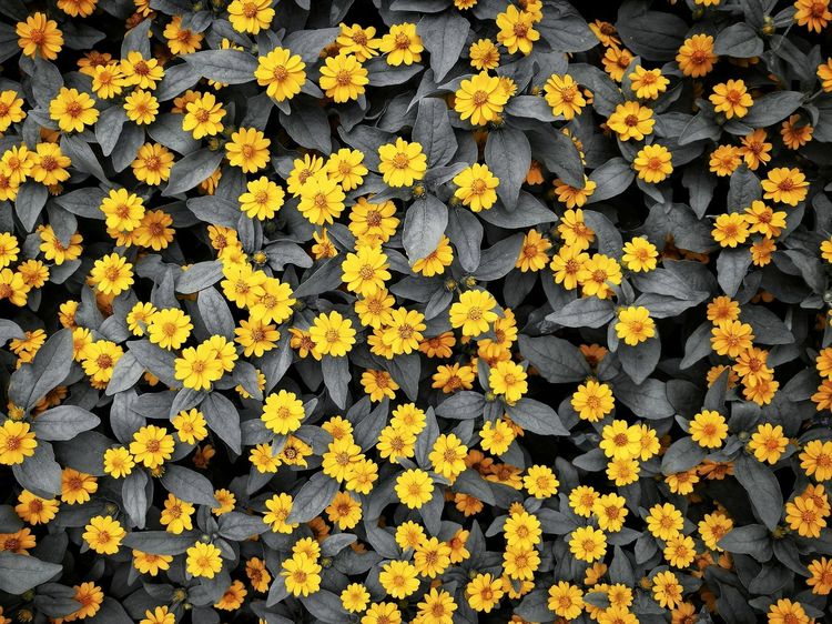 Nature Blackandwhite Black And White Black Flower Shanghai,China China Flower Yellow Autumn Leaf Full Frame Flower Head Backgrounds Change Close-up Black-eyed Susan Coneflower Crocus Yellow Color Leaves Blooming Marigold In Bloom Pollen Sunflower Plant Life Lichen Pansy Stamen