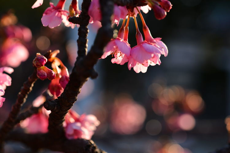 Close-Up Of Plum Blossoms Growing On Tree