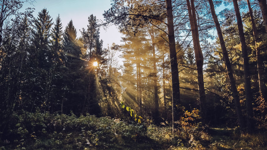Autumn forest with beatiful falling sun rays in Saint Petersburg province Otradnoe Tree Plant Land Forest Growth Beauty In Nature Tranquility Sunlight Nature Tranquil Scene No People Sunbeam Sky WoodLand Day Non-urban Scene Scenics - Nature Lens Flare Outdoors Sun Streaming