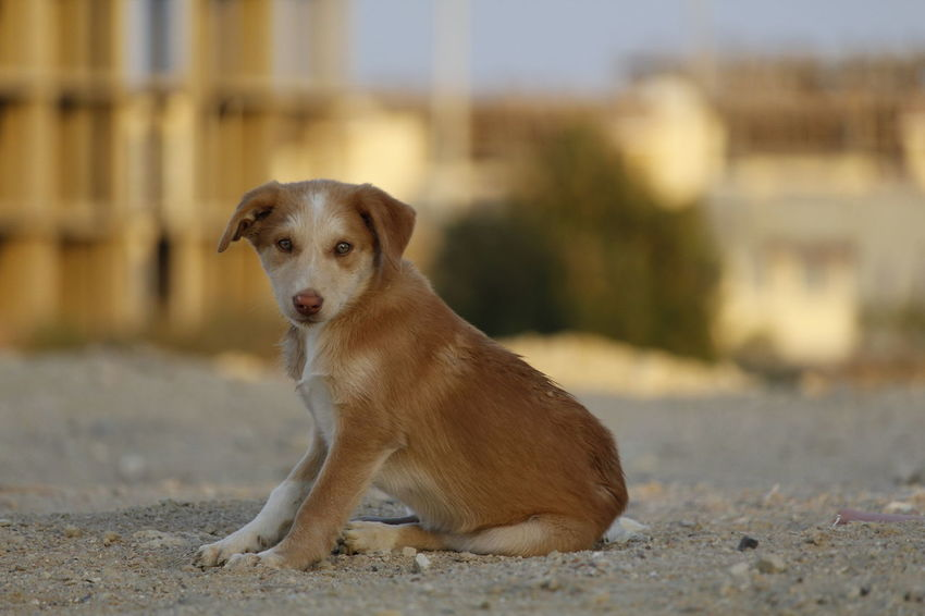 Composition Dogs Dogs Of EyeEm Egypt Hurghada This Is Egypt Raw Animals Canon Cute Dog  Day Dog Dog Love Dogslife Dog❤ Domestic Dog Hard Life Hurghada No Edit/no Filter No People Outdoor Outdoors Sand Streetdog Streetlife Streetphotography